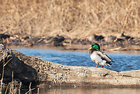 Male Mallard, Anas platyrhynchos, at Colusa National Wildlife Refuge, California