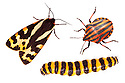 Aposematism describes the use of bright colouration and bold patterns to advertise that an organism is unpalatable or dangerous. In this example, all three insects are foul-tasting or toxic if eaten. All three are European insects: a Wood Tiger moth {Parasemia plantaginis plantains}, an Italian Striped-Bug / Minstrel Bug {Graphosoma lineatum} and a Cinnabar Moth {Tyria jacobaeae} caterpillar. Composite image. website