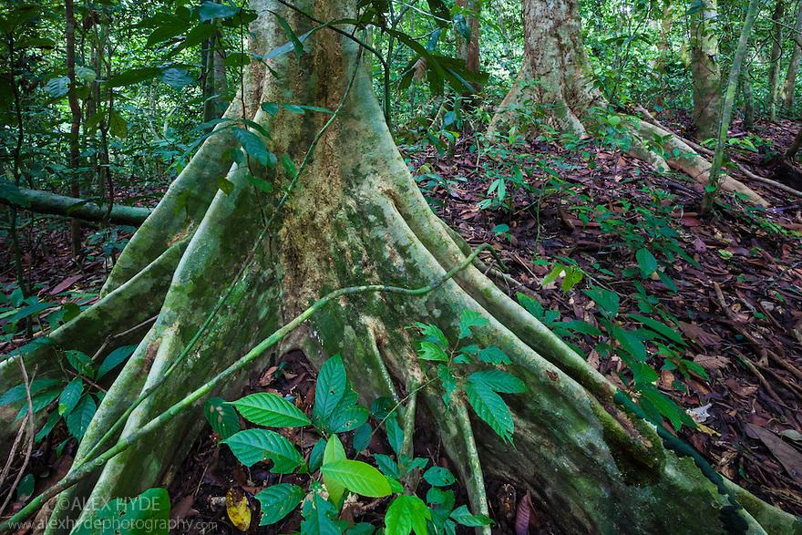 Butress roots, lowland dipterocarp rainforest. Danum Valley, Sabah, Borneo, Malaysia.