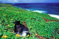Wedge-tailed shearwater (uau kani), a burrow-nesting seabird, abundant at Kilauea Point National Wildlife Refuge and throughout the Pacific. (Puffinus pacificus).