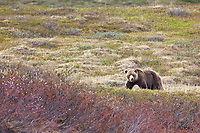 Grizzly bear along the Nigu river, National Petroleum Reserve, Alaska.
