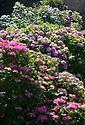"""20/06/16<br /> <br /> Alison Grimwood prunes the hydrangea.<br /> <br /> Tucked away in a hidden walled garden of an inner-city public park, the UK's largest hydrangea collection is putting on its best display ever, following the sudden heatwave after several months of rain.<br /> <br /> Full story:  <br /> <br /> https://fstoppressblog.wordpress.com/britains_biggest_hydrangea_garden/<br /> <br /> .And what used to be a flower traditionally associated with """"granny's cottage garden"""" is blooming back into fashion thanks to the rising trend for all things shabby chic and retro-styled.<br /> <br /> There are more than 600 individual hydrangea bushes with a dozen or so different varieties, planted in Derby's Darley Abbey park, formerly part of an estate belonging to the nearby cotton mills.<br /> <br /> All Rights Reserved, F Stop Press Ltd. +44 (0)1773 550665"""