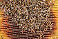 Larvae and future bees develop on a brood-comb where eggs have been laid.  In the center, nursing bees keep a constant temperature by contracting their chest muscles to raise their body temperature. The central brooding nest is surrounded by orange pollens filled cells. The colony needs 30 to 40 kilograms of pollen to rear the brood.