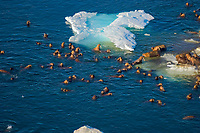 walrus, Odobenus rosmarus, herds resting and swimming around chunks of pack ice during spring breakup, Chukchi Sea, off the National Petroleum Reserves, Alaska