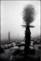Joshua Trees in fog<br />