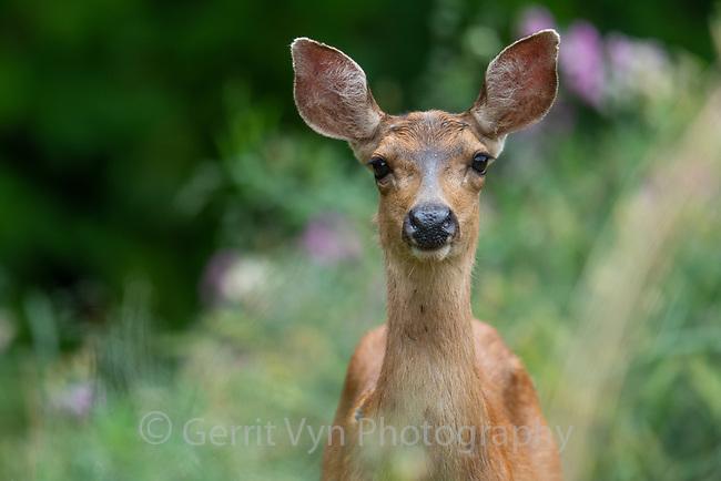 Black-tailed deer (Odocoileus hemionus). Multnomah County, Oregon.