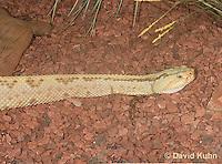 0511-1101  Neotropical Rattlesnake (South American Rattlesnake), Crotalus durissimus  © David Kuhn/Dwight Kuhn Photography
