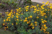 Euryops wagneri flowering in Fullerton Arboretum, Southern California