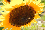 Sunflowers at Maplewood Farm in Portsmouth, RI, USA