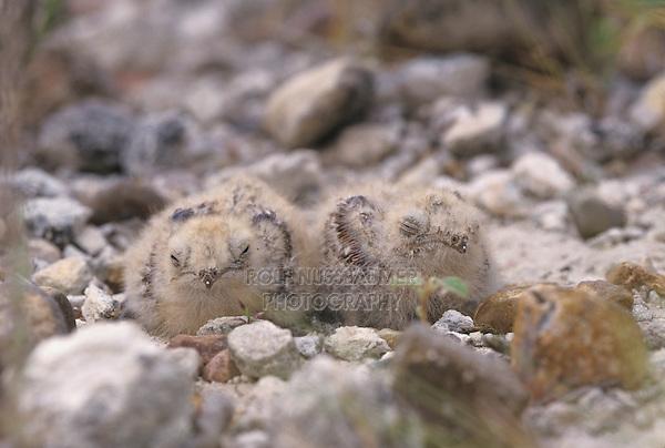 Lesser Nighthawk, Chordeiles acutipennis, young in nest camouflaged, Lake Corpus Christi, Texas, USA, May 2003