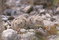 Lesser Nighthawk, Chordeiles acutipennis, young in nest camouflaged, Lake Corpus Christi, Texas, USA, May 2003