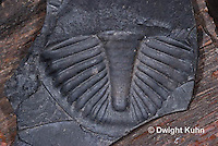 CX15-516z Trilobites Fossil, back-end Pygidium