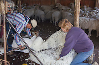 Domestic Sheep, shearing  Sheep, Hill Country, Texas, USA, April 2007