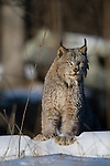 Canada lynx (Lynx canadensis) standing on a snow-covered log