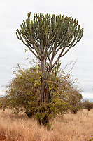 Tanzania. Tarangire National Park.  Candelabra Tree, Euphorbia, relying on other trees and bushes to support its weak trunk.