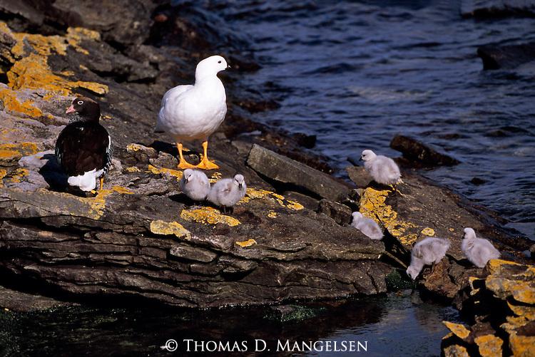 Kelp Geese pair with chicks on Carcass Island.