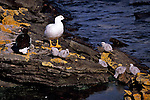 Kelp Geese pair with chicks on Carcass Island.