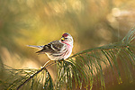 Common redpoll perched on a white pine tree branch in northern Wisconsin.