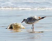 Herring gull in third-winter plumage contemplates a cabbage head jellyfish on the Gulf of Mexico beach