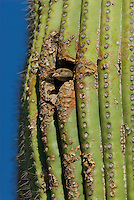 House Sparrow or English Sparrow (Passer domesticus) using nest cavity in saguaro cactus, Arizona.
