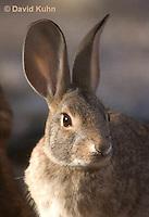 1115-0808  Desert Cottontail Rabbit (Audubons Cottontail), Sylvilagus audubonii © David Kuhn/Dwight Kuhn Photography