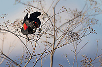 A Red-winged Blackbird seeks purchase in front of the snow slopes of Mt. Shasta.