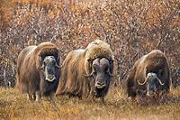 Three muskox on the tundra, Seward Peninsula, arctic Alaska.