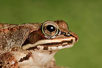 Wood Frogs (Rana sylvatica), distinguished by a dark brown mask on the sides of the head, are the most northerly amphibian in the world and most widespread amphibian in North America. Male pictured here. Summer. Nova Scotia, Canada.