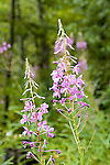 Fireweed blooms<br />