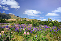 CHILE - NP Torres del Paine<br /> Colourful flowering lupins at the Guarderia Serrano
