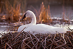 Female trumpeter swan sit on nest in Yellowstone National Park.