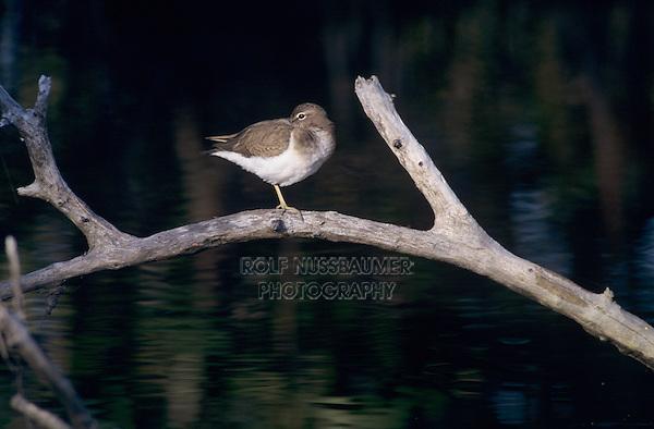 Spotted Sandpiper, Actitis macularia,adult winter plumage, Sanibel Island, Florida, USA, Dezember 1998