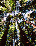 Redwood Trees on Big Sur Coast, Scenic Highway 1, Central Coast of California.A National Scenic Byway