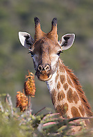 Southern giraffes proved to be one of the few animals that wasn't shy around vehicles at Samara.