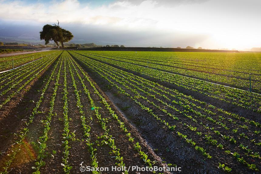 Rows of lettuce seedling in field in the rich soil of Salinas California