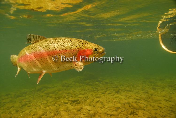 Underwater rainbow trout