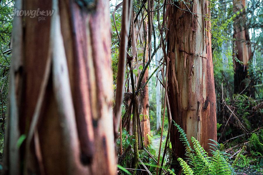 Image Ref: CA579<br /> Location: Lake Elizabeth, Forrest<br /> Date of Shot: 20.10.18