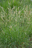 Gewöhnliches Ruchgras, Gemeines Ruchgras, Wohlriechendes Ruchgras, Ruchgras, Geruchgras, Anthoxanthum odoratum, sweet vernal grass, holy grass, vanilla grass, buffalo grass, Sweet Vernal-grass, Scented vernal grass