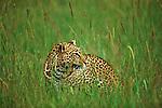 Leopard in the grass of the plains in Maasai Mara.