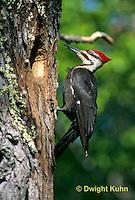 1P01-004z   Pileated Woodpecker - Dryocopus pileatus or Hylatomus pileatus