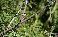 0917-0901  Acadian Flycatcher, Empidonax virescens © David Kuhn/Dwight Kuhn Photography