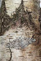 Birkenspanner, Birken-Spanner, Helle Form, Biston betularia, Biston betularius, Amphidasis betularia, peppered moth, La phalène du bouleau, Spanner, Geometridae, geometer moths, geometers, Tarnung auf Rinde