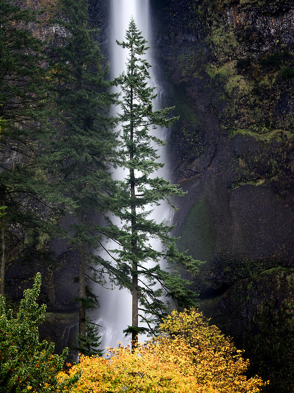 Multnomah Falls with lone tree and fall color. Columbia River Gorge National Scenic Area, Oregon