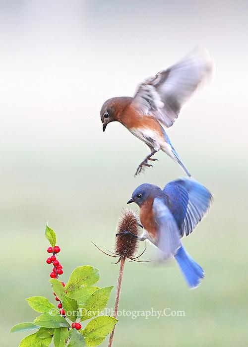 Bouncing Bluebirds  #B130