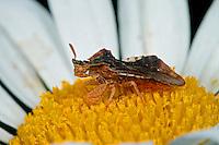 Teufelchen, Gespensterwanze, Teufel, Gottesanbeterinnen-Wanze, Fangwanze, Phymata crassipes, ambush bug, Raubwanze, Raubwanzen, Reduviidae