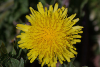 Common Dandelion blossom seen up close in southern Utah.
