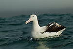Southern Royal Albatross (Diomedea epomophora) on water, Kaikoura, South Island, New Zealand