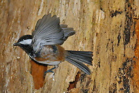 Chestnut-backed Chickadee (Poecile rufescens) at nest in old snag in old growth forest in Olympic National Park rain forest, WA.  June.