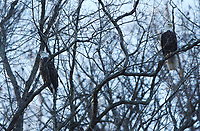 Isolated creek arms at Beaver Lake such as Indian Creek and Van Winkle Hollow hold good numbers of wintering bald eagles. January is the prime month to see them.<br />(NWA Democrat-Gazette/Flip Putthoff)