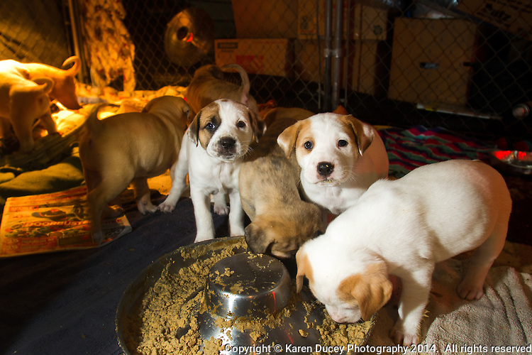 Eleven rescue puppies thought to be part Anatolian Shepherd or part Short Coated St. Bernard at Second Chance Dogs.